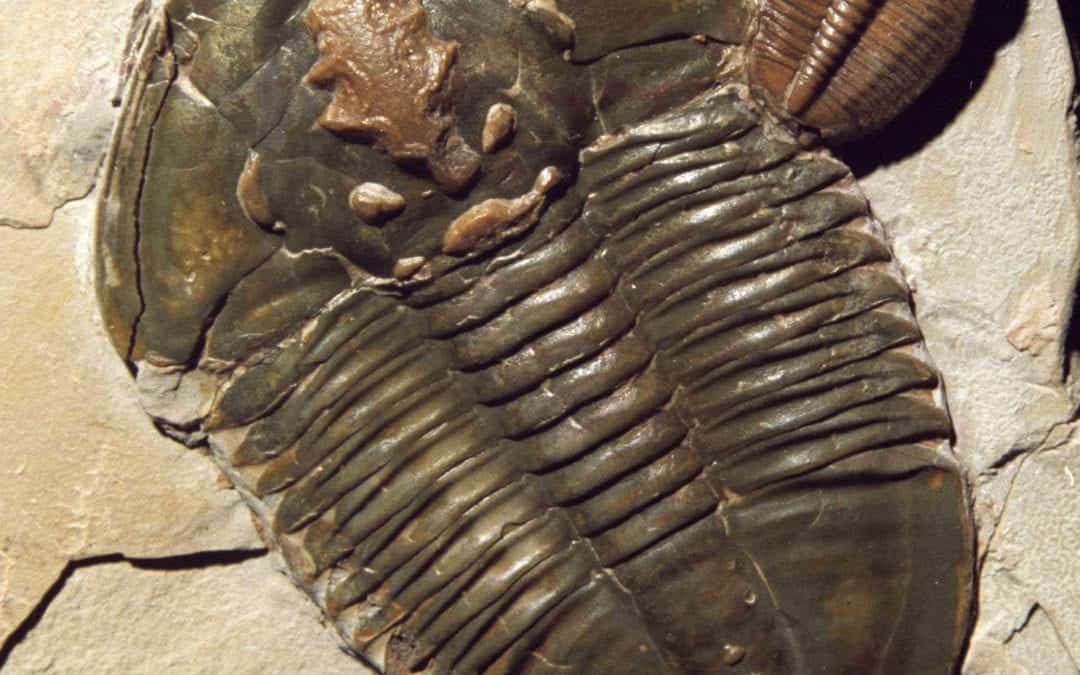 Fossil of the Month  December Trilobite